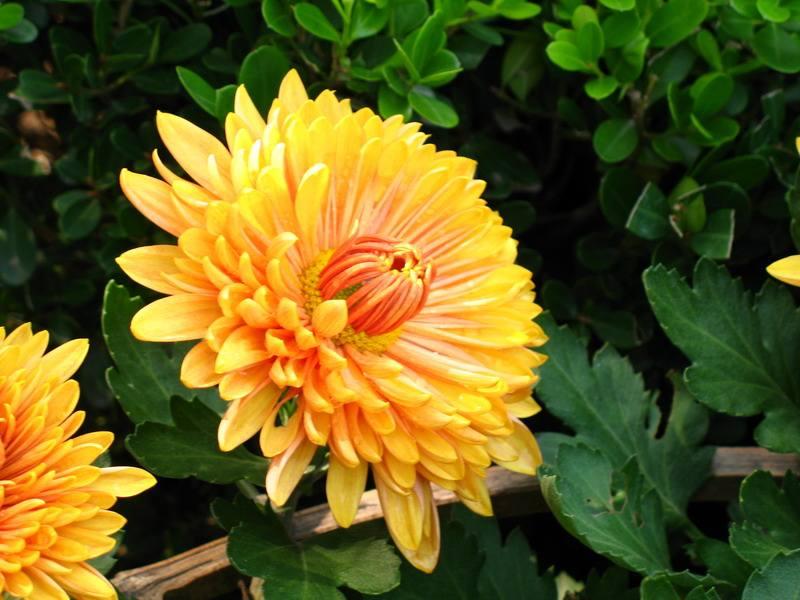 日本国花是什么花?(日本留学生活)